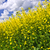 Canola plants in field stock photo © elenaphoto