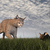 bobcat hunting mouse   3d render stock photo © elenarts