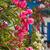 цветы · Санторини · Греция · красивой · подробность · розовый - Сток-фото © ElinaManninen