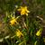 voorjaar · grens · Geel · narcis · Blauw · iris - stockfoto © elinamanninen