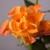 narancs · rózsa · rügy · közelkép · gyönyörű · természet - stock fotó © elisanth