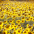 sunflower field during bright summer day stock photo © elnur
