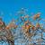 maturo · data · prugna · isolato · bianco · salute - foto d'archivio © elnur