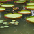 Amazon · красивой · Лилия · природы · лист · саду - Сток-фото © elnur