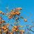 persimmon fruits on the tree stock photo © elnur
