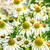 çiçekler · bulutlu · gökyüzü · çiçek · bahar · papatya - stok fotoğraf © elnur