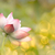 lotus stock photo © elwynn