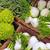 romanesco broccoli and fennel stock photo © elxeneize