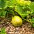 nagy · citromsárga · fallabda · növekvő · Kalifornia · étel - stock fotó © emattil