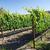 молодые · лозы · Калифорния · виноград · лет · текстуры - Сток-фото © emattil