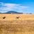 zebra · zebrák · Afrika · Kenya · ló · fut - stock fotó © emattil