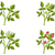 framboos · groei · vier · spruit · bloem · natuur - stockfoto © ensiferrum