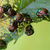 japanese beetles popillia japonica on leaf stock photo © enterlinedesign