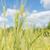 ушки · пшеницы · зеленый · сельского · хозяйства · области - Сток-фото © epitavi