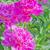 pink peonies outdoors stock photo © epitavi