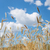 Field of rye and blue sky stock photo © Epitavi