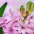 rózsaszín · jácint · közelkép · virág · nyár · zöld - stock fotó © Epitavi