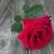 rosa · vermelha · solitário · belo · cinza · velho - foto stock © Epitavi
