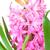 rosa · jacinto · isolado · branco · beleza - foto stock © Epitavi