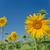 sunflower against the blue sky stock photo © epitavi