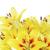 yellow lily on a white background stock photo © epitavi