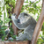 sonolento · coala · árvore · olhos · viajar · nariz - foto stock © epstock