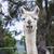 portrait of an alpaca stock photo © epstock