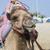 transport camel with bridle stock photo © epstock