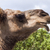 pictureof a camels head stock photo © epstock