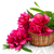 blossoming pink peony with a leaf stock photo © es75