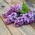 bokor · orgona · virágok · keret · kék · ég · bokeh - stock fotó © es75