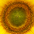 sunflower stock photo © es75