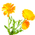 calendula flowers stock photo © es75