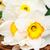 narcissen · mand · Geel · lege · tag · oude - stockfoto © es75