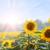 girassóis · céu · girassol · nublado · flor · folha - foto stock © escander81