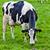 cows grazing on a green meadow stock photo © ewastudio