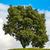 chêne · vert · prairie · ciel · lumière · nuages - photo stock © ewastudio