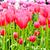 beautiful spring flowers tulips stock photo © ewastudio