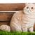 экзотический · короткошерстная · кошки · белый - Сток-фото © ewastudio
