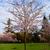 sakura flowers blooming beautiful pink cherry blossom stock photo © ewastudio