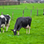cows on meadow with green grass grazing calves stock photo © ewastudio