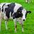 cows on meadow stock photo © EwaStudio