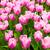 colorido · tulipas · belo · flores · da · primavera · primavera · paisagem - foto stock © EwaStudio