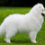 Samoyed dog  stock photo © EwaStudio