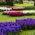 roxo · rosa · jacinto · flores · branco · isolado - foto stock © ewastudio