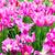 kleurrijk · tulpen · mooie · lentebloemen · voorjaar · landschap - stockfoto © ewastudio