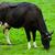 cows on green meadow stock photo © ewastudio