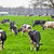 Cows on meadow with green grass. Grazing calves stock photo © EwaStudio