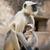 szürke · medvebocs · család · tipikus · indiai · majom - stock fotó © faabi