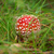 amanita poisonous mushroom stock photo © fanfo